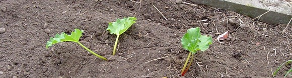 new rhubarb plants